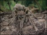Tarantula on Log